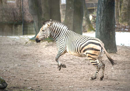 Zebra Equus burchells running and jumping with snow in the background. 写真素材