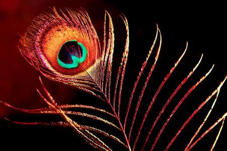 single peacock plume on black background photo