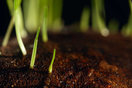 beatuful: grass sprouts grows from brown background macro shot