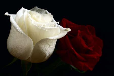 rosas negras: Rojo y blanco con gota de agua de rosas sobre fondo negro