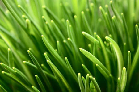 numerous grass sprouts in early spring Stock Photo