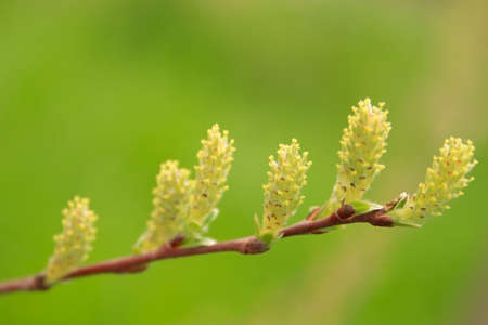 branch with salix repens flower on green background Stock Photo