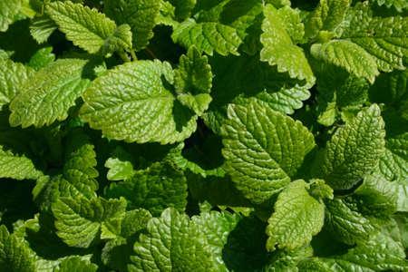 green carpet from melissa or lemon balm leaves