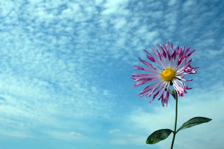 single chrysanthemum over cloudy sky in autumn photo