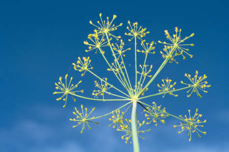 close-up yellow fennel flower over blue sky Stock Photo