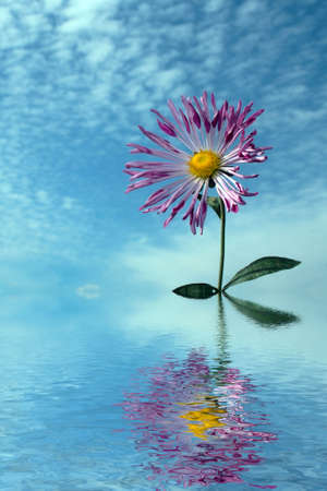 single chrysanthemum over cloudy sky in autumn flooding in water photo