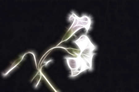 abstract fractal two oxalis flower and sprouts on black background photo