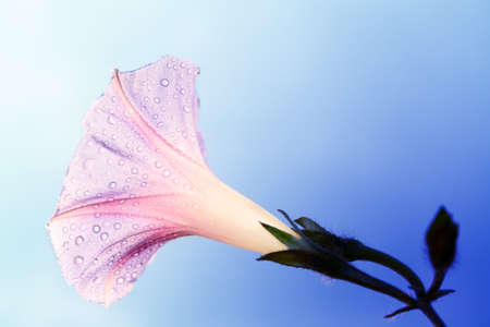 androecium: convolvulus with water drops over sky