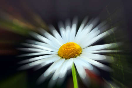 single camomile on the dark background Stock Photo - 4224144