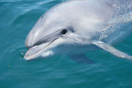 bottlenosed dolphin looking at you from water closeup shot Stock Photo