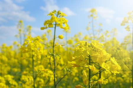 rape flower inside field and cloudy sky