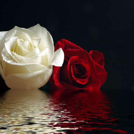 red water: red and white roses with water drop reflecting in water Stock Photo