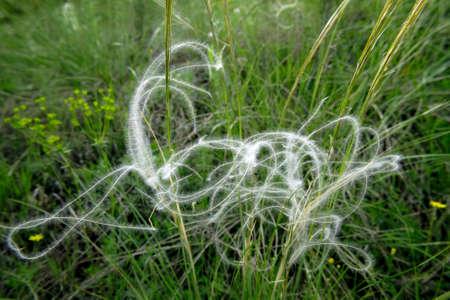 gen: attractive stipa seeds among grass in summer ukrainian meadow Stock Photo