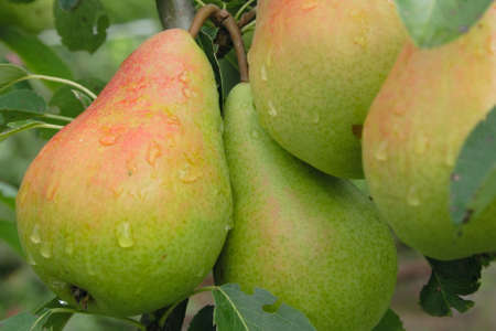 groups of narural pears on tree in end of summer