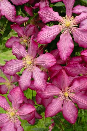 closeup attractive pink clematis in summer garden