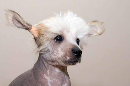 stared: Chinese Crested breed puppy closeup portrait