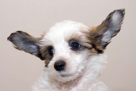 stared: Chinese Crested  breed puppy closeup Stock Photo