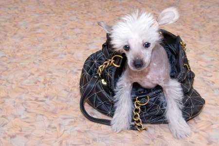 stared: Chinese Crested breed puppy closeup portrait with handbag