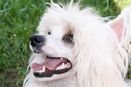 stared: Chinese Crested  breed dog closeup