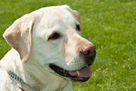 Labrador dog portrait over green grass with bokeh