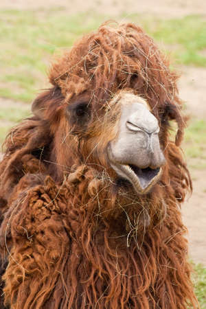 Portrait of funny camel closeup with dry grass on it