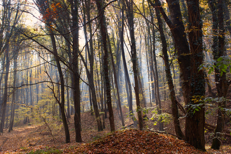 changing color: Sunbeams through Autumn Forest with Leafs Changing Color Stock Photo