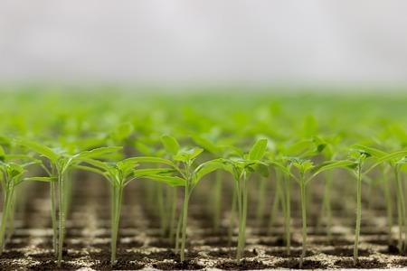 cfl: Tomato seedlings Solanum lycopersicum CFL grow light HPS grow light Stock Photo