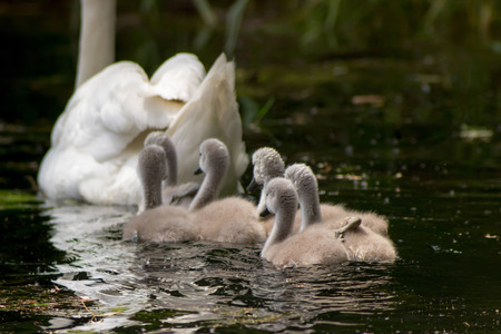 ugly duckling: Swan with chicks, Cygnus Ugly ducklings