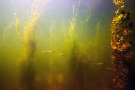 freshwater fish: Freshwater underwater scene Freshwater fish rivers and lakes Stock Photo