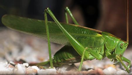 grasshopper: Great Green Bush-Cricket (tettigonia viridissima)  Green Cricket Grasshopper Stock Photo