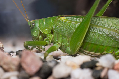 feelers: Great Green Bush-Cricket (tettigonia viridissima)  Green Cricket Grasshopper Stock Photo