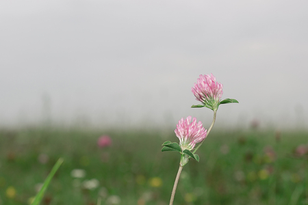 red clover: Flowering beautiful red clover in meadow