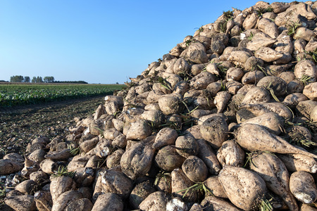 Sugar beet harvest. The pile of sugar beet. Stock Photo