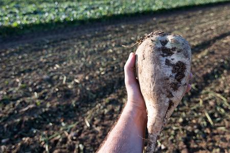 remolacha: Mano que sostiene la remolacha azucarera. la cosecha de remolacha azucarera. Foto de archivo