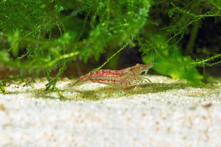 Red shrimp in a aquarium. Red shrimp. Male. Stock Photo