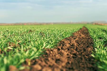 Trigo verde joven que crece en el suelo. Plantones de trigo joven que crecen en un campo. Foto de archivo - 66011498