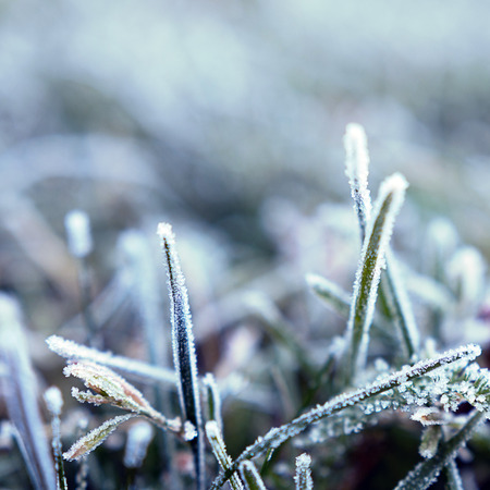 Background of grass covered with hoarfrost. Frost in the morning. Shallow depth of field. Close-up.