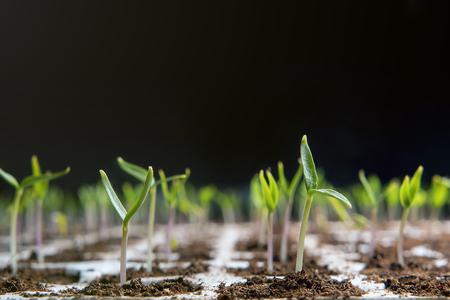 Close-up van zaailingen opgepot in turf lade. Jonge zaailingen in de lente. Nieuw leven.