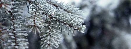Branches de pin recouverts de cristaux de givre Branche de pin avec de longues aiguilles dans le gel. Arbre de Noël avec pin Banque d'images - 84858650