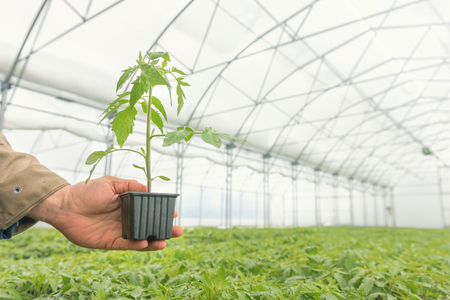 Tomato Seedling in the hand of agriculture, Potted Seedling.