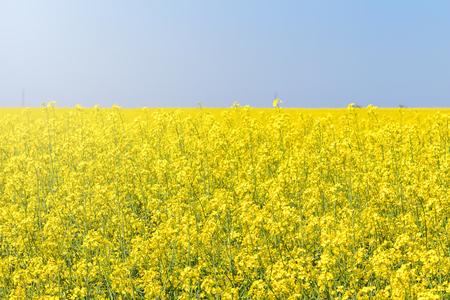 Rapeseed field, Yellow oil rape seeds in bloom. Green energy Field.