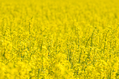 Rapeseed field, Yellow oil rape seeds in bloom. Green energy Field.