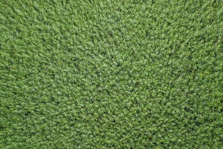 Green rapeseed agriculture field Top View. Rapeseed. Imagens