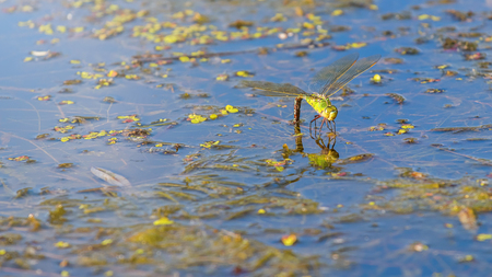 Colorful dragonfly on a plant reflecting in the water. Dragonfly laying eggs.