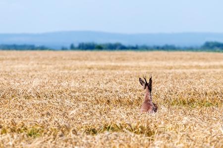 Roe Deer Buck jump in wheat field. Roe deer wildlife.