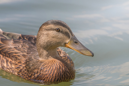 Female Mallard duck Close Up.
