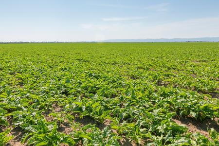 Pole buraków cukrowych. Zielone buraki cukrowe w ziemi.