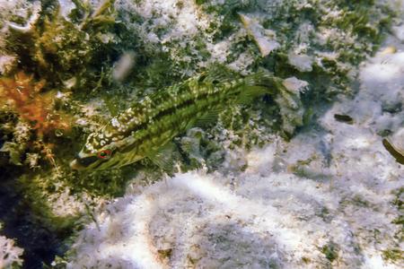 Symphodus roissali, Five spotted wrasse Underwater Close Up