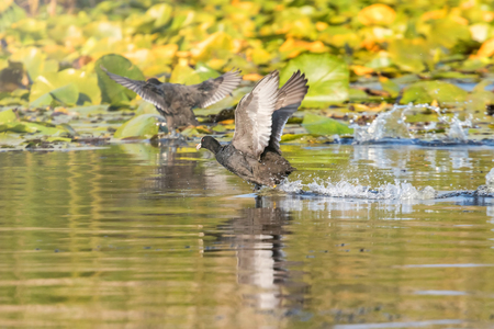 Eurasian Coot, black duck, Common coot (Fulica atra)