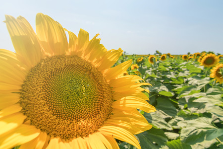 Sunflower, Field of blooming sunflowers